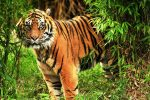 sunderbans tiger tour